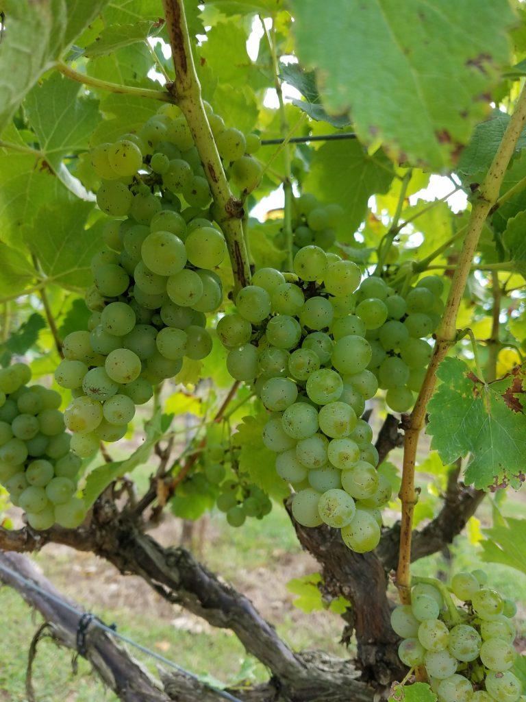 vineyard wedding asheville longleaf marshall mountains western nc north carolina wine